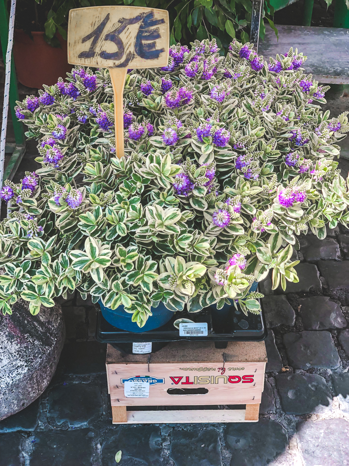 purple flower plant at Campo de Fiori