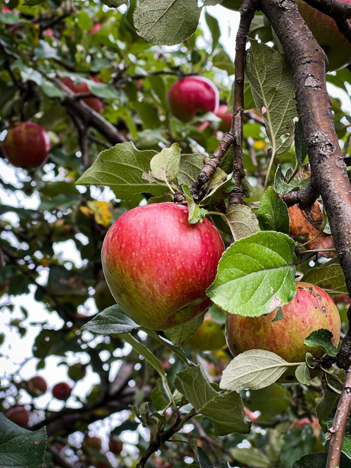 apples on the tree at the von Trapp lodge